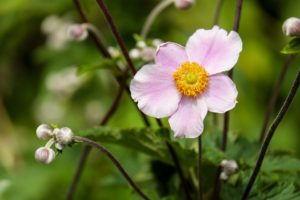 anemone-1610920_960_720