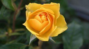 flower-roses-bloom-blossom