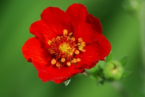 flower_red_green_221775