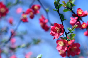 10007-red-flowers-on-a-tree-branch-pv